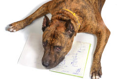 Red-haired sad dog lying on a notebook with formulas. Red-haired sad dog lays on a school notebook with mathematical equations Royalty Free Stock Photos