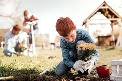 Red-haired small gentleman planting yellow chrysanthemums in land royalty free stock photos
