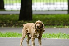 Red-haired spaniel dog Royalty Free Stock Images