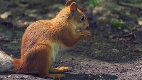 Red-haired squirrel with a bushy tail walks on the ground in the forest, looking for food and eats it. Sunny summer day in the den. Se forest. Close-up stock video footage