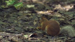 Red-haired squirrel with a bushy tail walks on the ground in the forest, looking for food and eats it. Sunny summer day in the den. Se forest. Close-up stock video