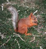 Red-haired squirrel eating on green grass royalty free stock photography