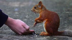 The red-haired squirrel eats sunflower seeds. stock video