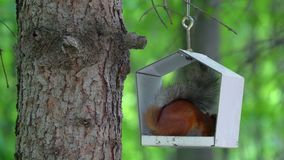 A red-haired squirrel with a gray tail sits in the bird feeder and eats sunflower seeds. The squirrel takes out the last seeds at. The corners of the feeding stock video footage