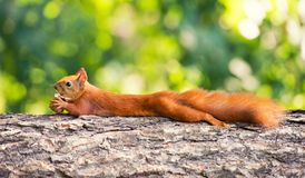 Red-haired squirrel hanging on a tree with a nut. Red-haired squirrel hanging on a tree with a nut royalty free stock photos