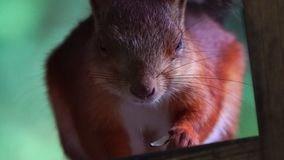 The red-haired squirrel sits a bird feeder and eats sunflower seeds. Visitors of the park constantly bring nuts and seeds to the s stock video footage