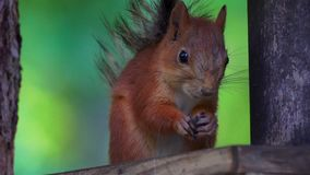 The red-haired squirrel sits a bird feeder and eats sunflower seeds. stock video footage