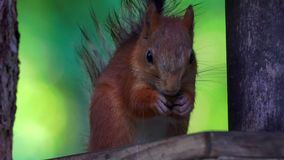 The red-haired squirrel sits a bird feeder and eats sunflower seeds. stock footage