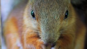 The red-haired squirrel sits and eats peanuts. People often bring food to the squirrel, nuts and seeds. Close-up of head of squirr stock video