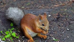 Red-haired squirrel sits on the ground in the park and eats sunflower seeds. Visitors to the park constantly bring squirrels and s stock video footage