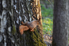 The red-haired squirrel sitting on the trunk of a birch Stock Photography