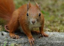 Red-haired squirrel Royalty Free Stock Images