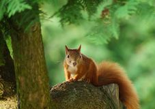 Red-haired squirrel Royalty Free Stock Photo