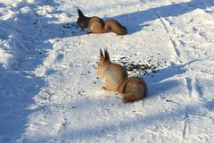 Red squirrel on white snow. Red-haired squirrel on white snow in the park Royalty Free Stock Photography