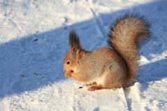 Red squirrel on white snow. Red-haired squirrel on white snow in the park Royalty Free Stock Images