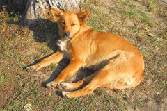 Red-haired stray dog lies on the ground Stock Photo