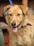 Red-haired terrier dog Stock Photos