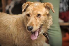 Red-haired terrier dog Royalty Free Stock Images