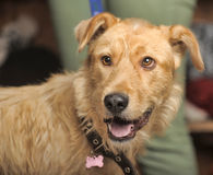 Red-haired terrier dog Stock Images