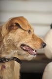 Red-haired terrier dog Royalty Free Stock Photography