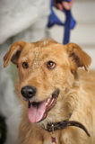 Red-haired terrier dog Stock Photo