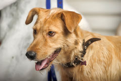 Red-haired terrier dog Stock Photography