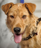 Red-haired terrier dog Stock Image