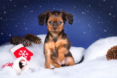 Red-haired toy terrier puppy. In a New Year's decor Stock Images