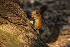 Red-haired wild squirrel in a natural habitat of the forest stock photo