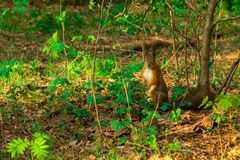 Red-haired wild squirrel stands in green foliage in the woods royalty free stock images