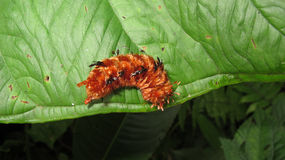 Red hairy caterpillar Royalty Free Stock Images
