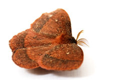 Red Hairy Moth Stock Photos