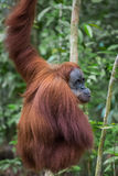 Red hairy orangutan sits back and looks over her shoulder (Bohor. Red hairy orangutan sits back and looks over her shoulder in the green jungle (Bohorok Stock Images