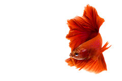 Red Halfmoon Betta splendens or siamese fighting fish. Isolated on white background Royalty Free Stock Image