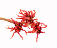 Red Hamamelis flowers Stock Images