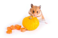 Red hamster Royalty Free Stock Photography