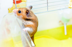 Red Hamster gets out of his cage Stock Images