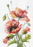 Red hand drawn watercolor poppy on white paper
