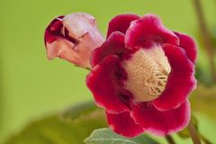 Red handbell beautiful Indoor flowers. Gloxinia on green close to Stock Images