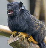 Red-handed Tamarin 2 Stock Images