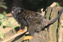 Red-handed tamarin Stock Photos