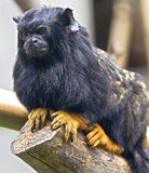 Red-handed Tamarin 3 Royalty Free Stock Photos