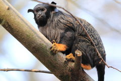 Red-handed tamarin Royalty Free Stock Image
