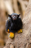 Red-handed tamarin on Brown Tree on Close Up Photography Stock Photo