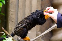 Red handed tamarin eating from a persons hand Stock Photo