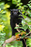 Red-handed tamarin - (Saguinus midas). The red-handed tamarin on a branch of an arbor Stock Photography