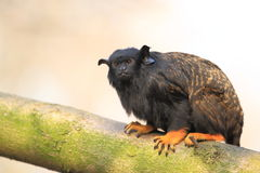 Red-handed tamarin. The red-handed tamarin sitting on the tree Stock Images