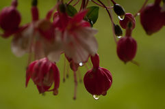Red hanging Fuchsia plant. Red fuchsia plant hanging with green background and dew royalty free stock image