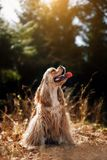 Red happy American Cocker Spaniel in park royalty free stock images