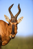 Red Hartbeest. A portrait of a Red Hartebeest, Addo Elephant National Park Stock Images